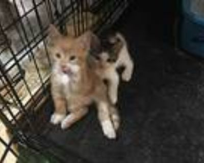 Mommy & Kittens, Domestic Shorthair For Adoption In Marlton, New Jersey