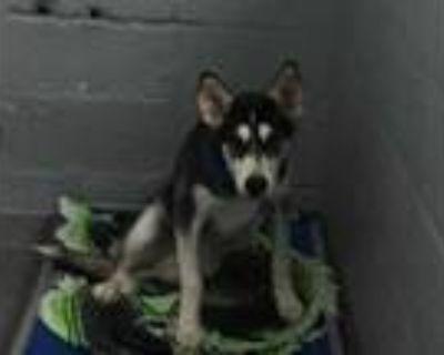 Adopt 48312803 a Black Husky / Mixed dog in Los Lunas, NM (32073167)