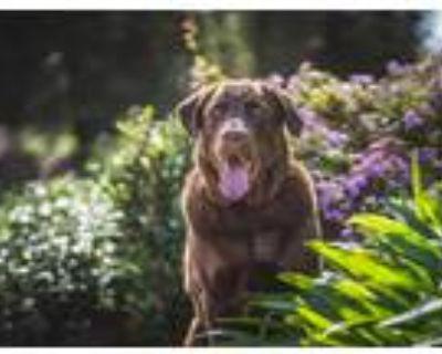 Adopt Rebel a Brown/Chocolate Labrador Retriever / Mixed dog in Woodland Hills