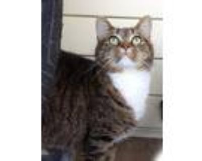 Adopt Lilly a Brown or Chocolate Domestic Shorthair / Mixed cat in Morgantown