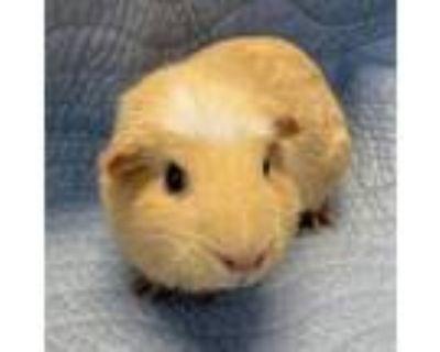 Adopt Miss Pigglesworth a Guinea Pig