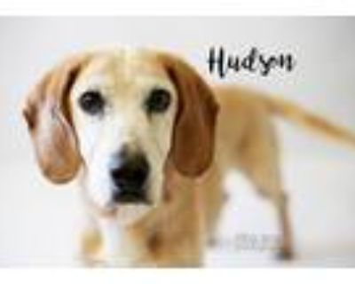 Adopt Hudson a Red/Golden/Orange/Chestnut - with White Basset Hound / Labrador