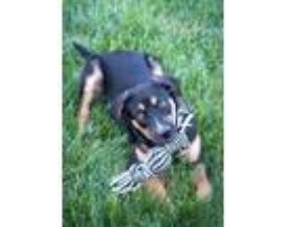 Adopt Baloo a Black - with Tan, Yellow or Fawn German Shepherd Dog / American