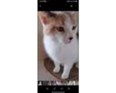 Adopt Syn a Calico or Dilute Calico Calico / Mixed (medium coat) cat in