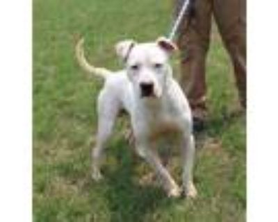 Adopt CHOKY ICE a Pit Bull Terrier