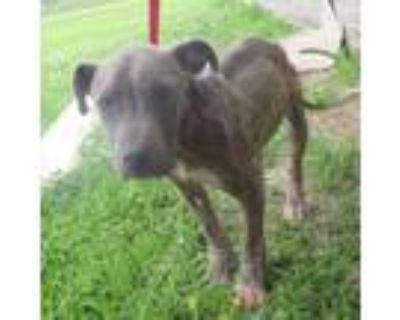 Adopt 94464 a Pit Bull Terrier