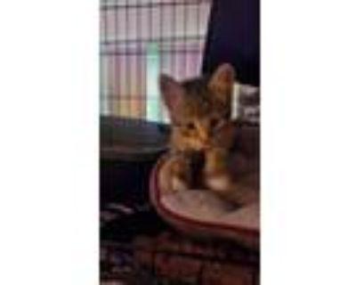 Adopt Torie a Exotic Shorthair, Ocicat