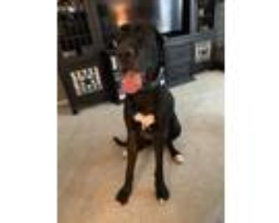 Adopt Oakley a Black - with White Irish Wolfhound / Great Dane / Mixed dog in