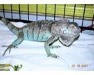 Adopt Bea4686 a Iguana