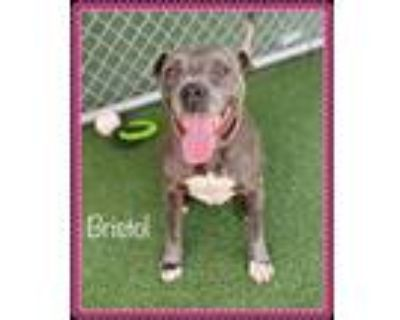 Adopt BRISTOL a Gray/Silver/Salt & Pepper - with White Pit Bull Terrier / Mixed