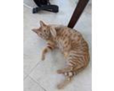 Adopt Kirby a Orange or Red Tabby Domestic Shorthair / Mixed (short coat) cat in