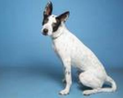 Adopt JUNO a White - with Black Australian Cattle Dog / Mixed dog in Phoenix