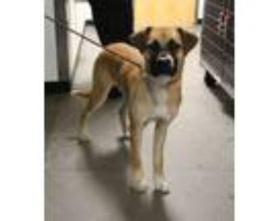 Adopt Pen 200 Kai a Boxer, Labrador Retriever