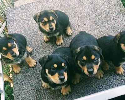 Rottweiler/White Shepard puppies