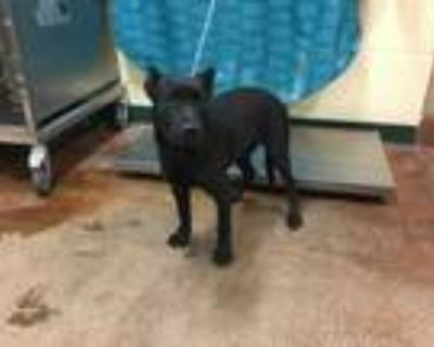 Adopt Dog a Black American Pit Bull Terrier / Mixed dog in Thousand Palms