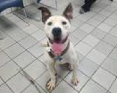 Adopt GENERAL a Pit Bull Terrier, Mixed Breed