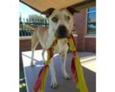 Adopt Priam a White Catahoula Leopard Dog / Mixed dog in Farmers Branch