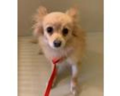 Adopt Ivy a Tan/Yellow/Fawn Pomeranian dog in Greenbelt, MD (30361549)