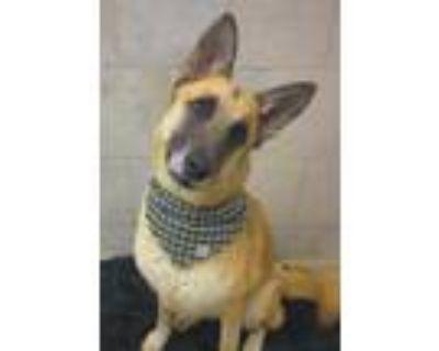 Adopt Nugget a German Shepherd Dog / Mixed dog in Matawan, NJ (30254871)