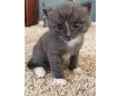 Adopt Clove a Russian Blue / Mixed (short coat) cat in Murrieta, CA (31452382)