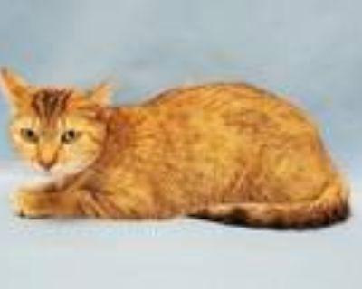 Adopt 48284032 a Domestic Short Hair