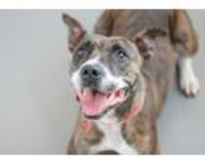 Adopt Princess Peach a Brown/Chocolate American Pit Bull Terrier / Mixed dog in