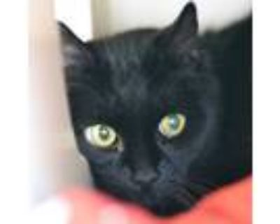 Adopt Skye a All Black Domestic Shorthair / Domestic Shorthair / Mixed cat in