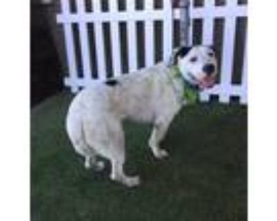 Adopt a White - with Black American Pit Bull Terrier / Mixed dog in Modesto