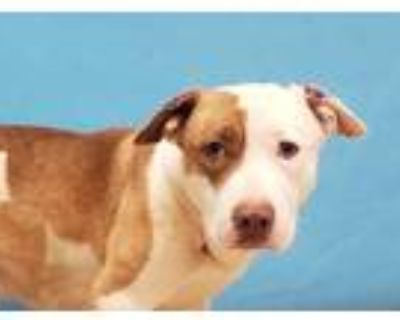 Adopt Cookie a White American Pit Bull Terrier / Labrador Retriever / Mixed dog