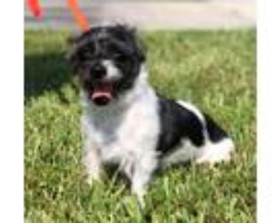 Adopt Snoopy a White - with Black Shih Tzu / Mixed dog in Cape Coral