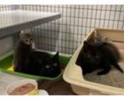 Adopt Ada & her three-kitten litter a Domestic Short Hair
