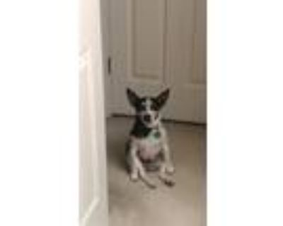 Adopt Bud a Black - with White Rat Terrier / Jack Russell Terrier / Mixed dog in