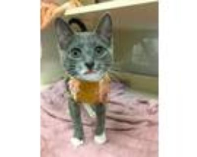 Adopt PIPPI a Gray or Blue (Mostly) Domestic Shorthair / Mixed (short coat) cat