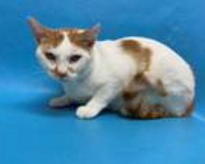 Adopt 48292302 a White Domestic Shorthair / Domestic Shorthair / Mixed cat in