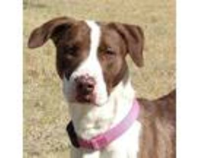 Adopt Willow a White American Pit Bull Terrier / German Shepherd Dog / Mixed dog