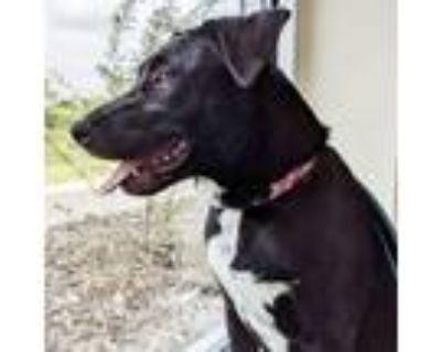 Adopt Cassidy a Labrador Retriever, Border Collie