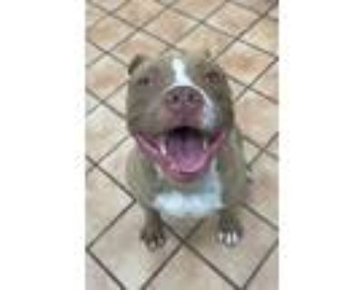 Adopt BERRIES a Tan/Yellow/Fawn - with White American Pit Bull Terrier / Mixed