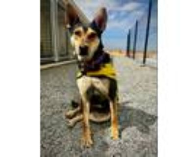 Adopt Happy a Black - with Tan, Yellow or Fawn Cattle Dog / Mixed dog in
