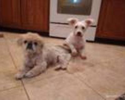 Adopt Lola a Bichon Frise, Poodle