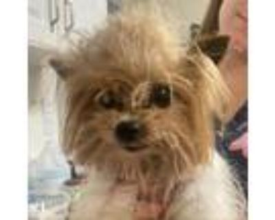 Adopt Harry a Chinese Crested Dog