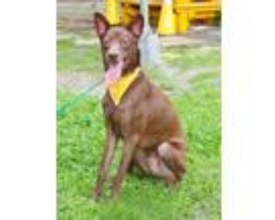Adopt Nickson a Hound, Labrador Retriever