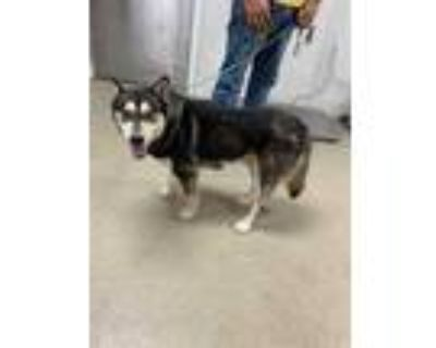 Adopt TORWIN a Black Husky / Shepherd (Unknown Type) / Mixed dog in Fort Worth
