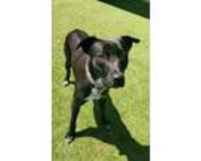Adopt Flash a Black Labrador Retriever / Mixed dog in Independence
