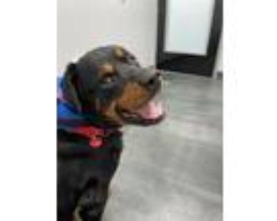 Adopt Grizz a Brown/Chocolate - with Tan Rottweiler / Mixed dog in Beverly