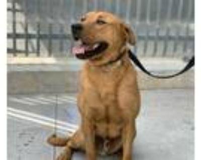 Adopt SCOOBY a Red/Golden/Orange/Chestnut Labrador Retriever / Rottweiler /