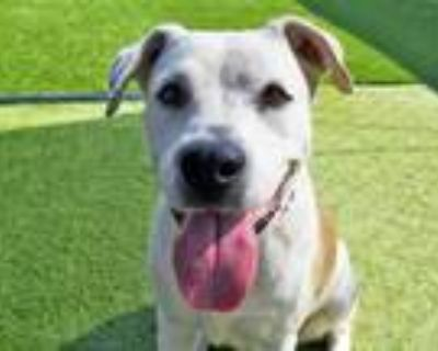 Adopt MAGGIE a Tan/Yellow/Fawn - with White Labrador Retriever / American Pit