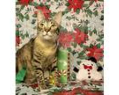 Adopt Esme a Brown or Chocolate (Mostly) Domestic Shorthair (short coat) cat in