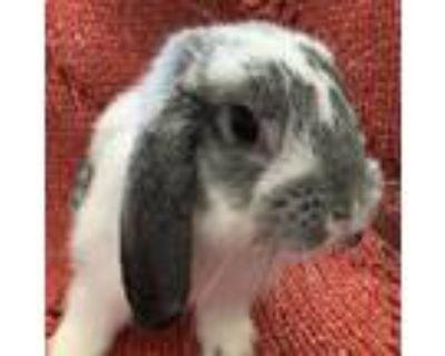 Adopt Matteo a Blue Lop, Holland / Mixed (short coat) rabbit in Los Angeles