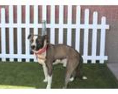 Adopt *STANLEY a Brown/Chocolate - with White American Pit Bull Terrier / Mixed