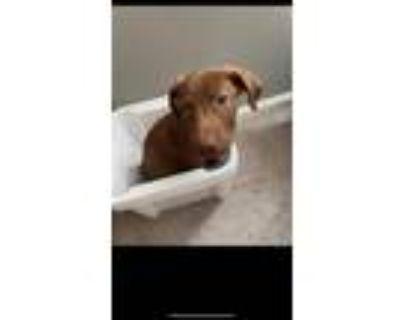 Adopt Miriam a Labrador Retriever